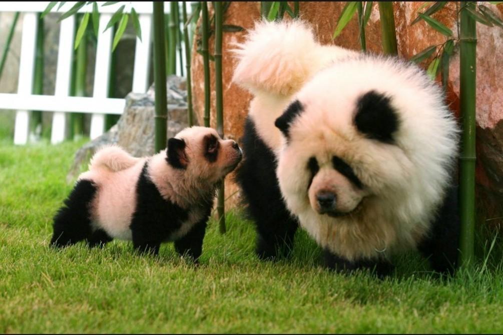 В китайском кафе крашенных собак чау чау выдавали за панд