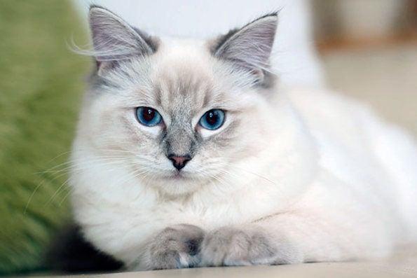 Топ 6 самых дружелюбных и ласковых пород кошек