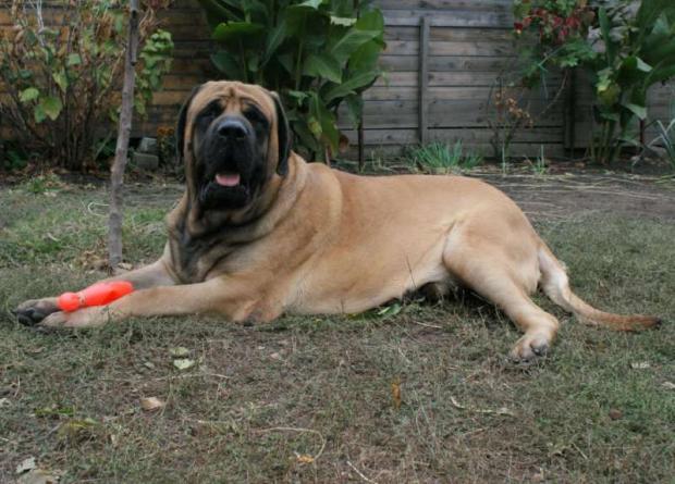 Топ 8 собак, которые не подчиняются своему хозяину