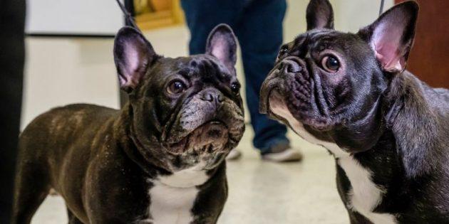 Топ 10 пород собак, которые созданы жить в квартире