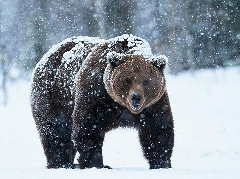 Зачем медведь сосёт лапу зимой и что это значит
