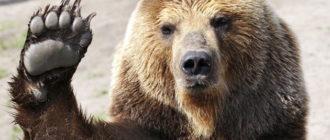 Спячка медведей: лапа, зима, фото, причины, особенности