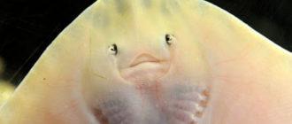 Морской кот: фото ската, описание, где обитает, чем опасен