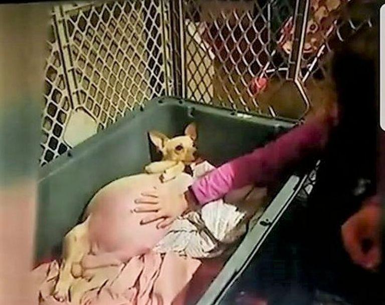 10 щенков – не предел! Чихуахуа Лол попала в книгу рекордов Гинесса