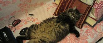 Сибирский кот Василий: фото, история, внешний вид, особенности