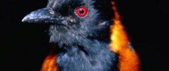 Птица питаху: фото, особенности, яд, токсин, особенности