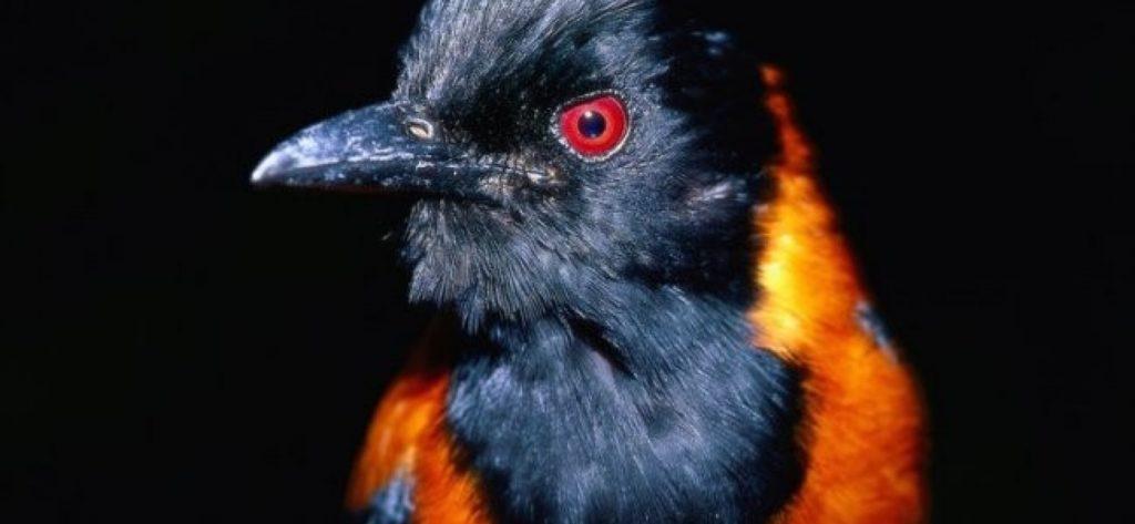 По-настоящему токсичная птица - ядовитая питаху