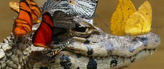 Птицы чистят зубы крокодилам: фото, причины, симбиоз