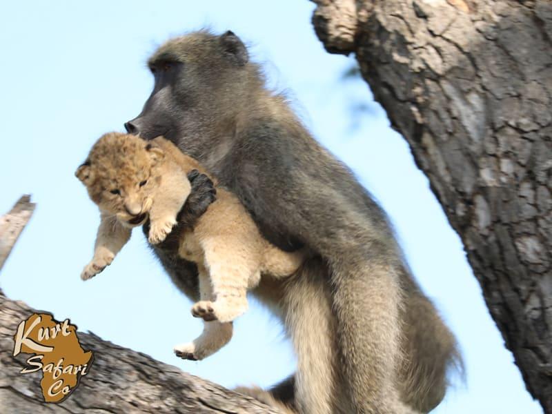 Как Симба и Рафики: африканский фотограф снял, как бабуин бережно несет львенка