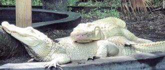 Аллигатор альбинос: фото, парк Gatorland, особенности, причины