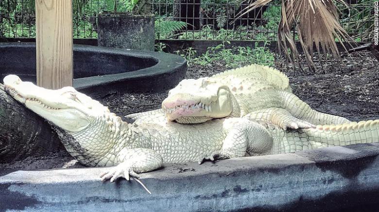 Редчайшее совпадение: семья аллигаторов альбиносов из парка живой природы Gatorland