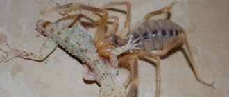 Фаланга: фото паука, описание, где обитает, особенности