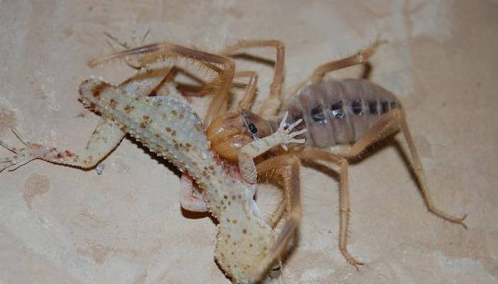 Фаланга – хищный монстр класса паукообразных