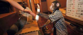 Обезьянка официантка в Японии: фото, история, новости, причины