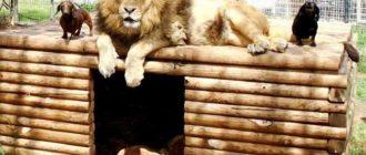 Лев и таксы друзья: фото, история, отношения, поведение