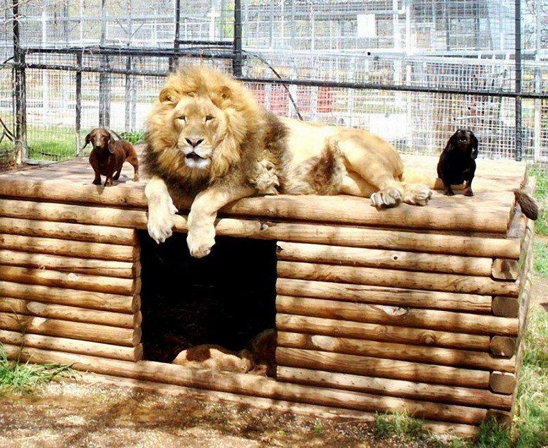 Бондиггер: лев, воспитанный таксами