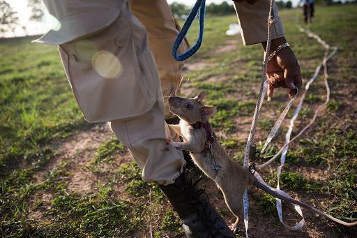 Крысы-саперы из Камбоджи: на страже с 1995 года