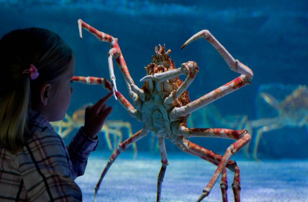 Кто проживает на дне океана: японский краб паук с четырёхметровыми ногами