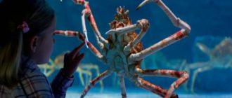 Японский краб паук: фото, внешний вид, длинна ног, размеры