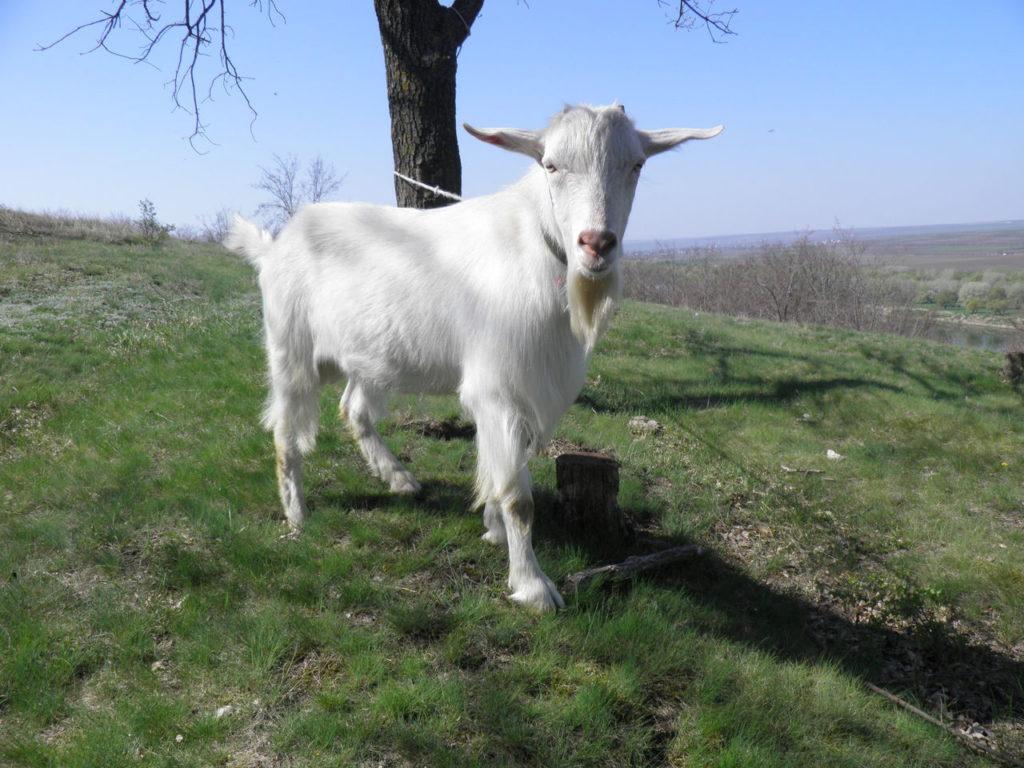 Топ 9 самых необычных пород коз в мире