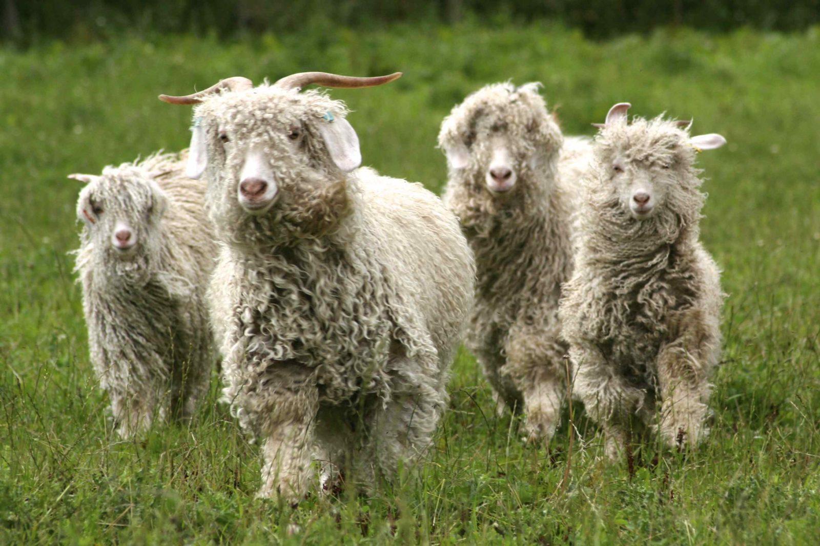 помощью картинка шерсть козы пасибо бесподобный