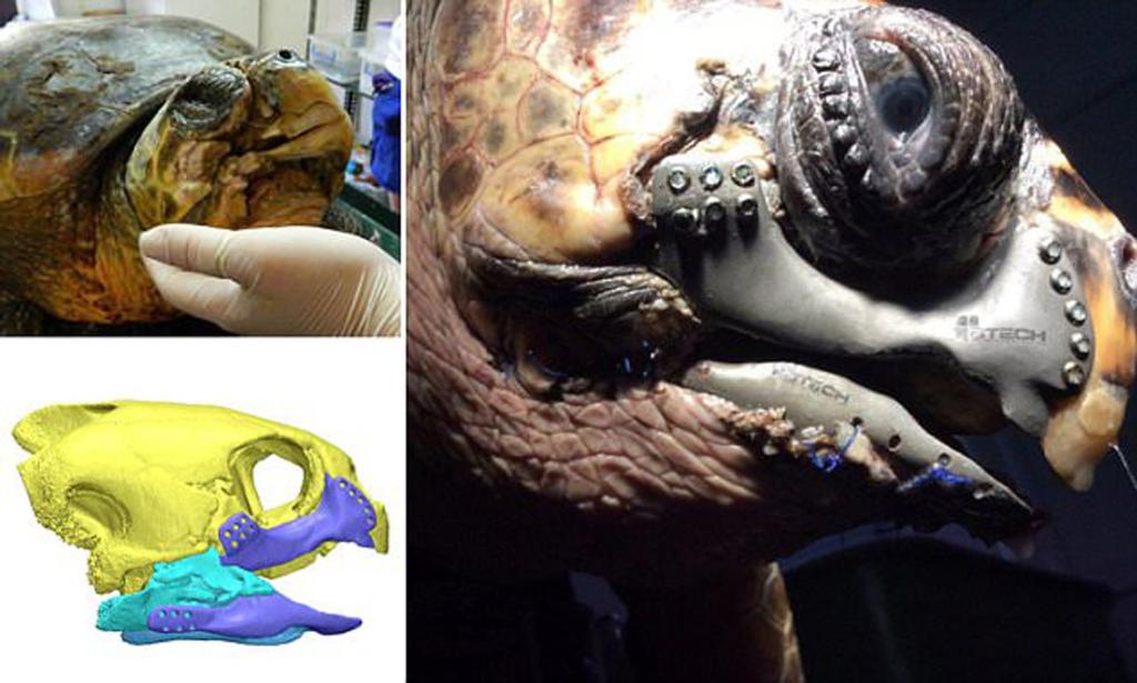 Единственная в мире черепаха с челюстью из титана