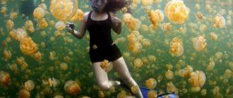 Озеро медуз: фото, картинки, Палау, особенности, причины