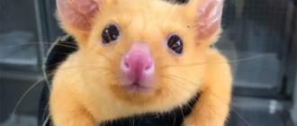 Покемон Пикачу австралийский поссум: фото, цвет, мутация
