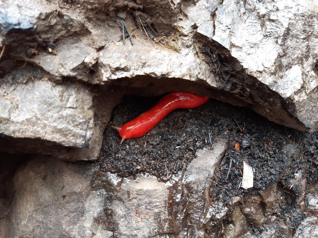 Фото дня: необычный красный слизняк из Австралии