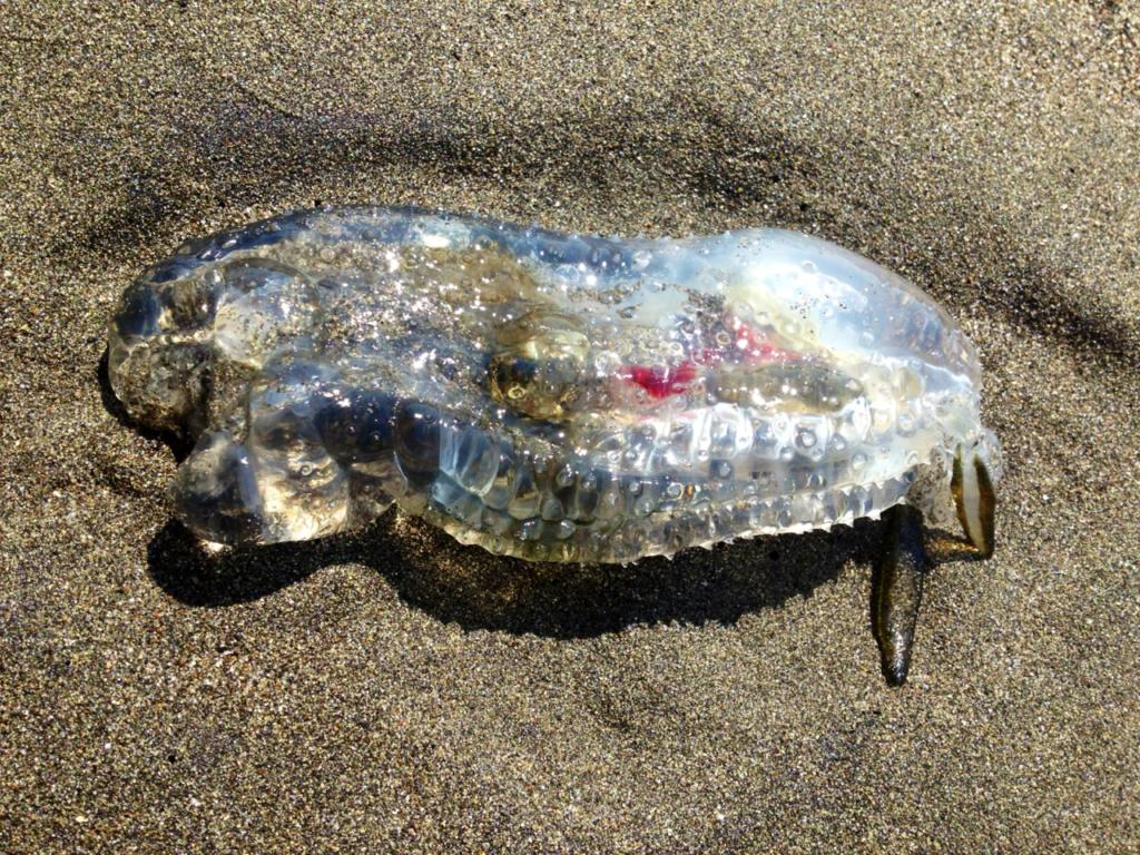 Нечего скрывать: Salpa Maggiore - полностью прозрачная рыба