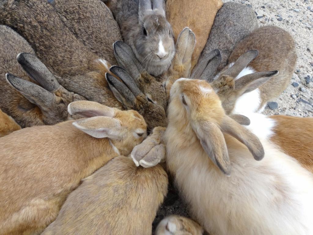 Кроликопокалипсис: Остров кроликов в Японии - Окуносима