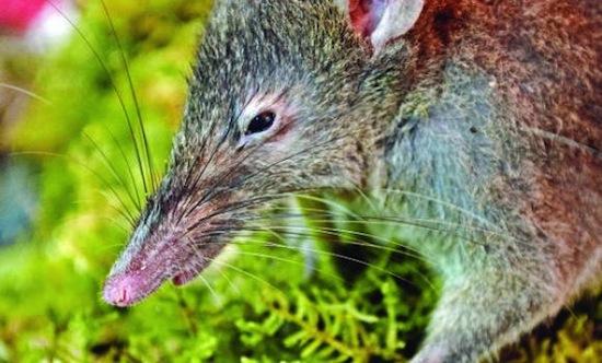 Единственная крыса беззубая крыса на Земле