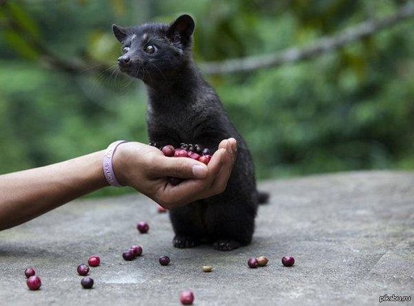 Циветта — что-то между котиком и енотиком