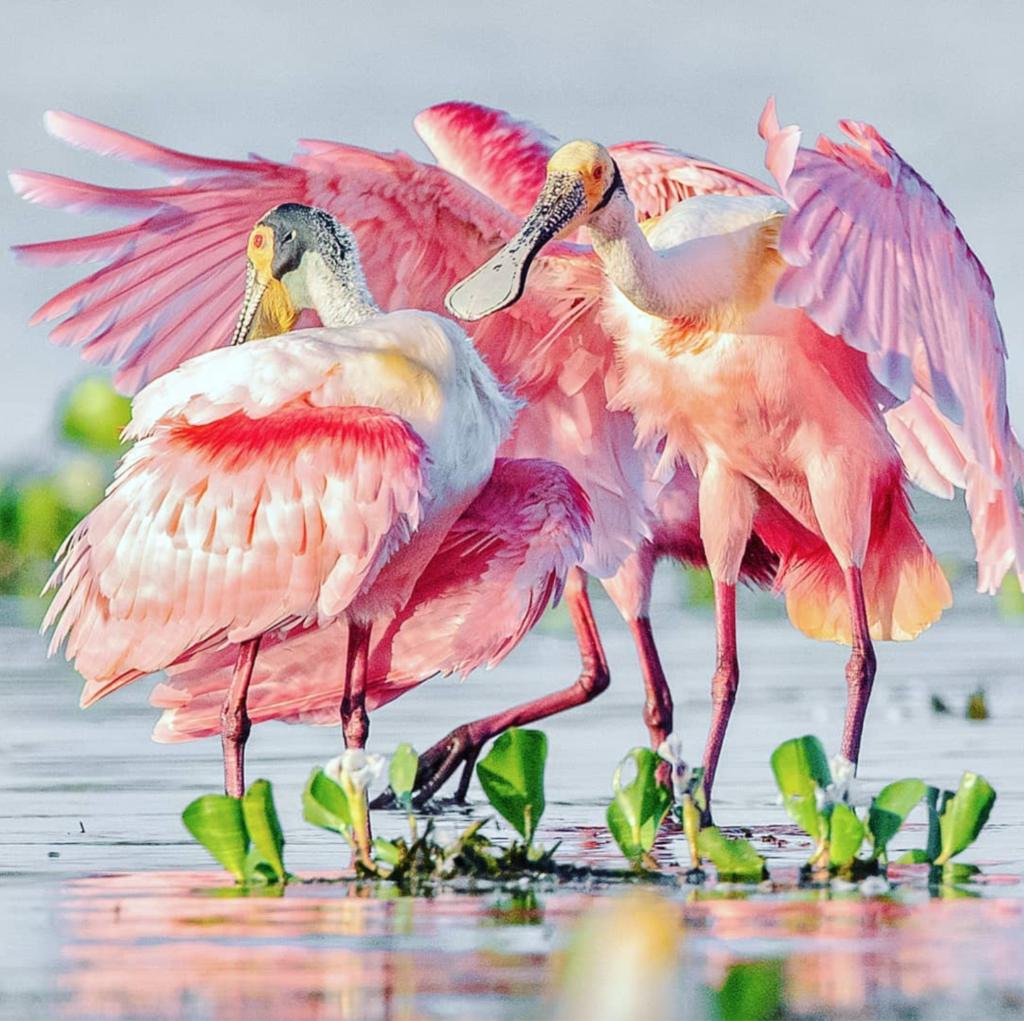 Розовая колпица