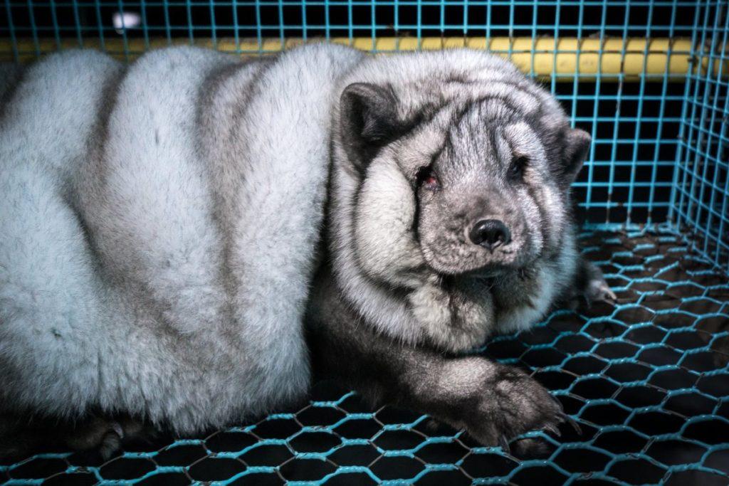 Ужасы разведения песцов на зверофермах Финляндии