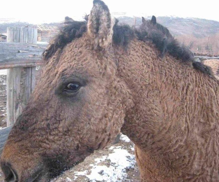 Экзотические породы лошадей: Забайкальская и Американская кучерявая