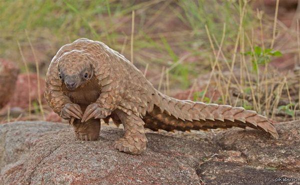 Панголин — выжить в дикой Африке, не имея быстрых ног