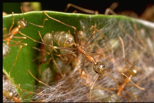 Как пауки объединились с муравьями против других пауков