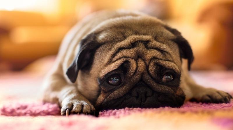 Завывания собаки – о чём питомцы хотят сообщить хозяевам?