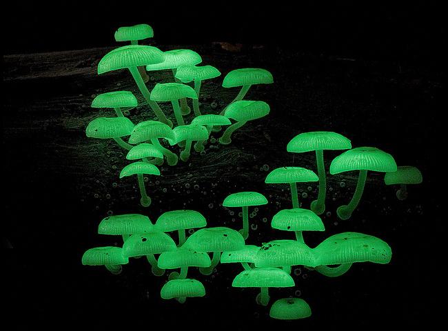 «Живые лампочки» — светящиеся животные