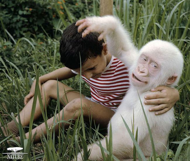 Почти снежный человек— единственная горилла-альбинос