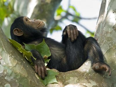 Шимпанзе замечены за пристрастием к пальмовому вину