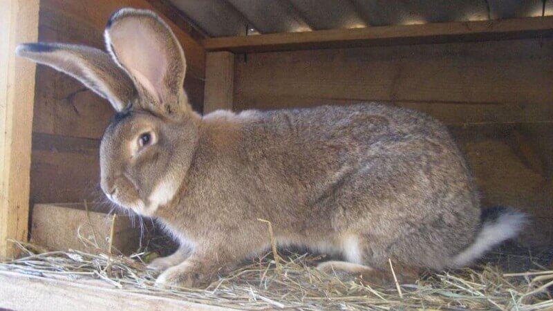 Какую породу кроликов выбрать для разведения в домашних условиях