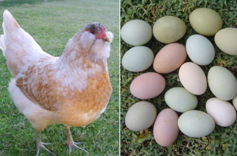 Экзотические породы кур, несущие разноцветные яйца