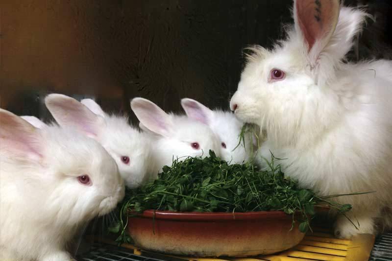 Какие они – пуховые кролики?