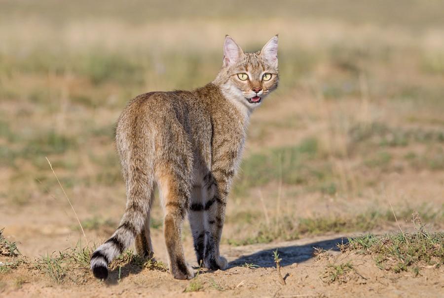 10 очаровательных диких кошек, о которых мы так мало знаем