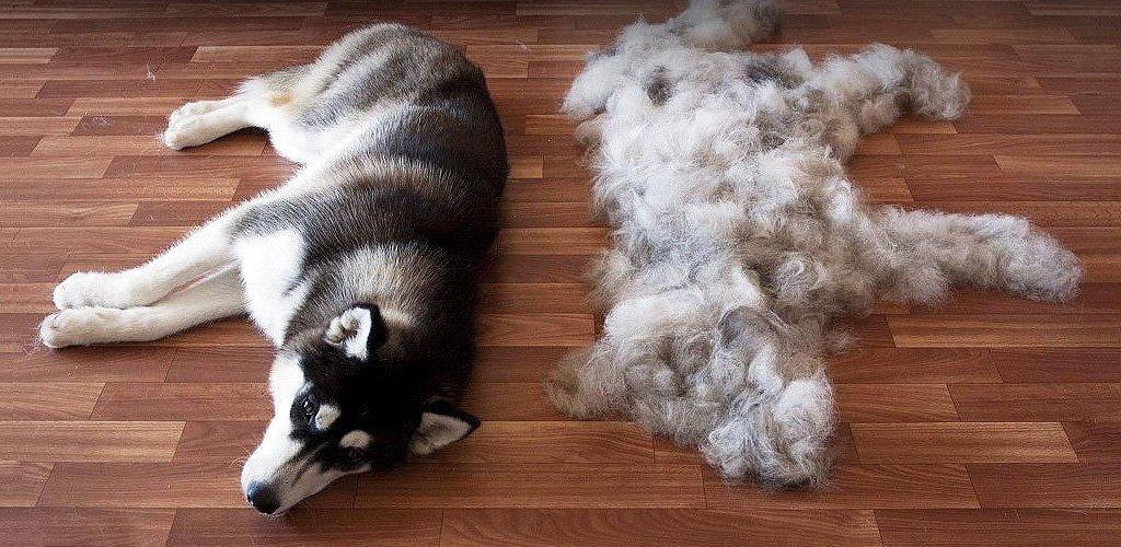 Топ 10 пород собак, которые не линяют