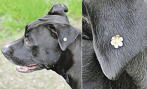 Делать или не делать собаке пирсинг?