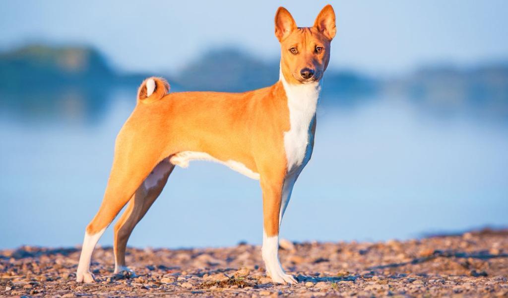 Топ-15 тихих пород собак