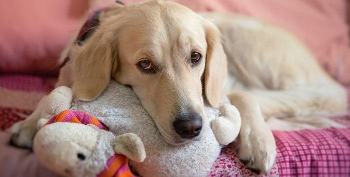 Псевдобеременность у собаки - причины, симптомы, методы лечения и меры профилактики